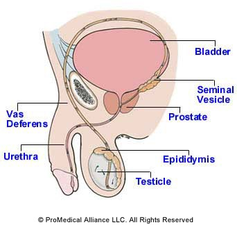 Glossary of Medical Terms and Anatomy on the Vasectomy Procedure